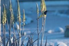 bird_scotts_1
