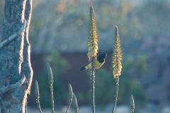 bird_scotts_2