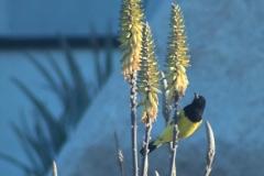 bird_scotts_3